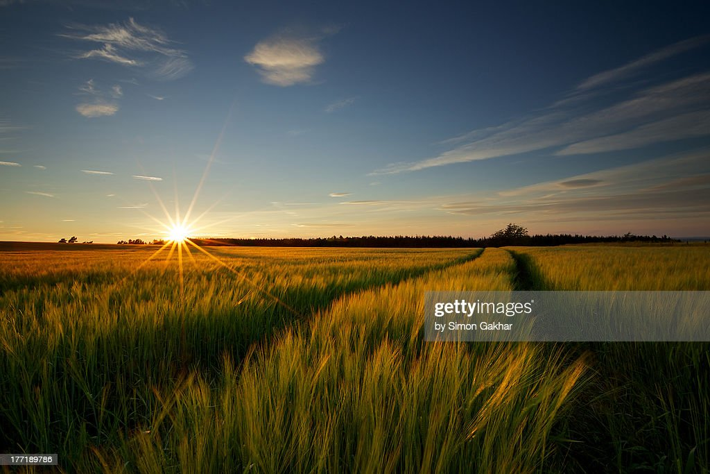Golden Barley Field at Sunset with Sunstar