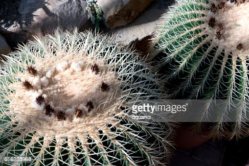 Golden barrel cactus Echinocactus grusonii : Stock Photo