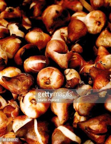 Golden brown tulip bulbs : Bildbanksbilder