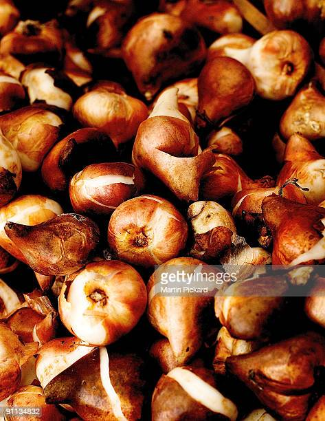 Golden brown tulip bulbs