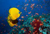 Golden butterflyfish (Chaetodon semilarvatus)  and lyretail anthias