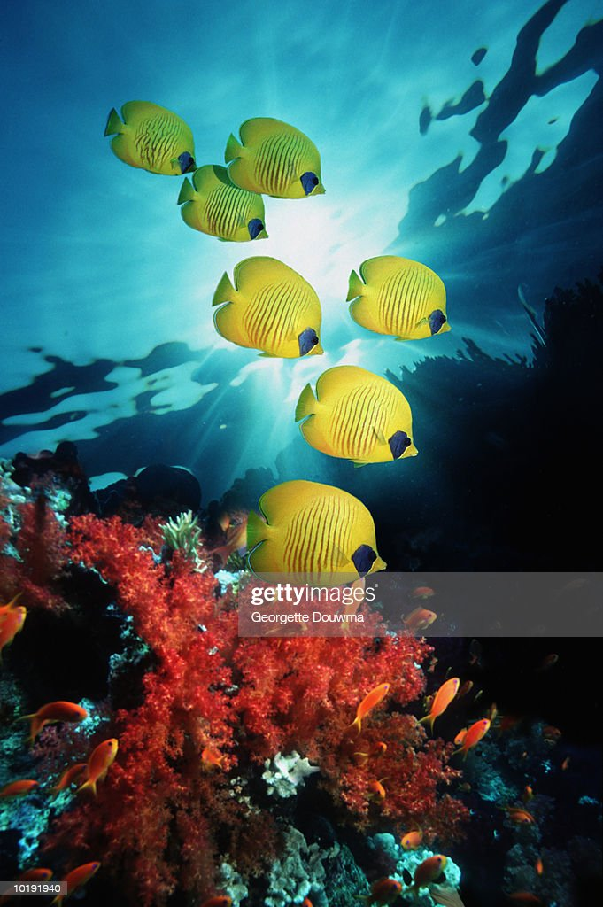 Golden Butterflyfish (Chaetodon semilarvatus) over reef : Stock Photo