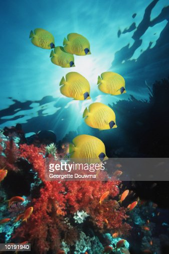 Golden Butterflyfish (Chaetodon semilarvatus) over reef : Foto de stock