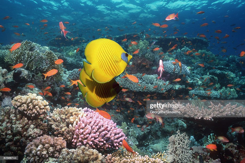 Golden butterflyfish pair over coral reef. : Stock Photo