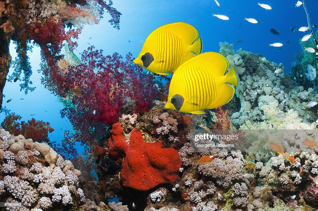 Golden butterflyfish (Chaetodon semilarvatus) : Stock Photo