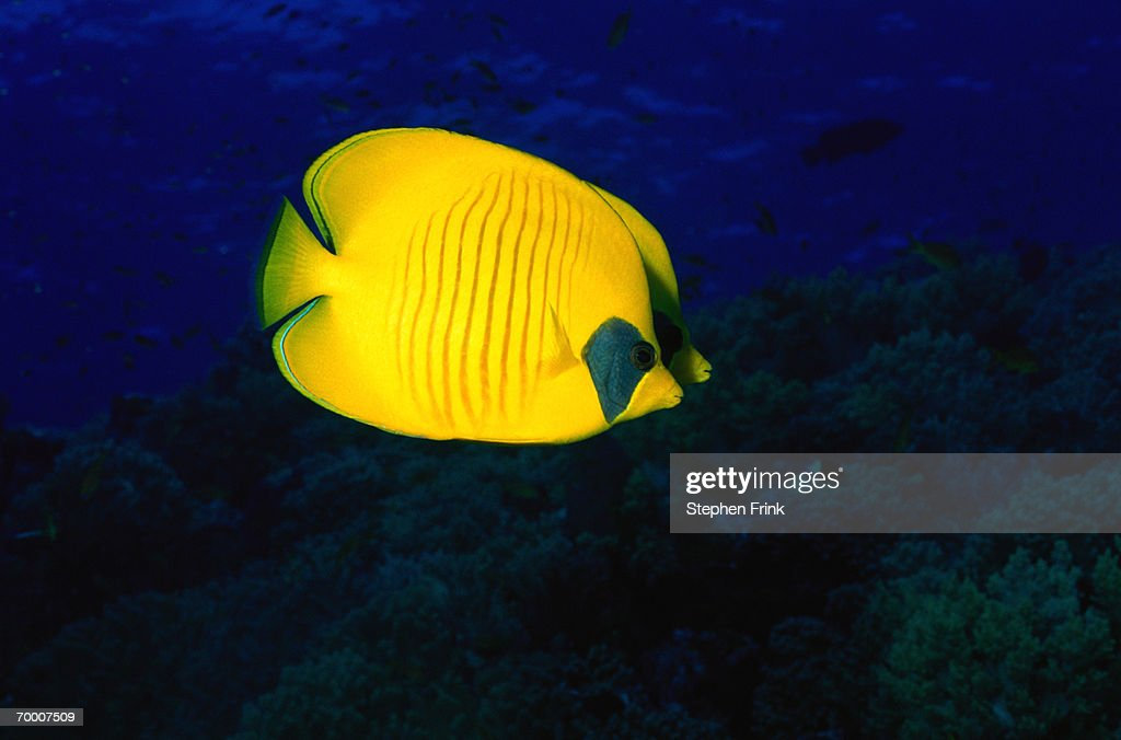 Golden butterflyfish (Chaetodon semilarvatus) Red Sea, Egypt : Stock Photo