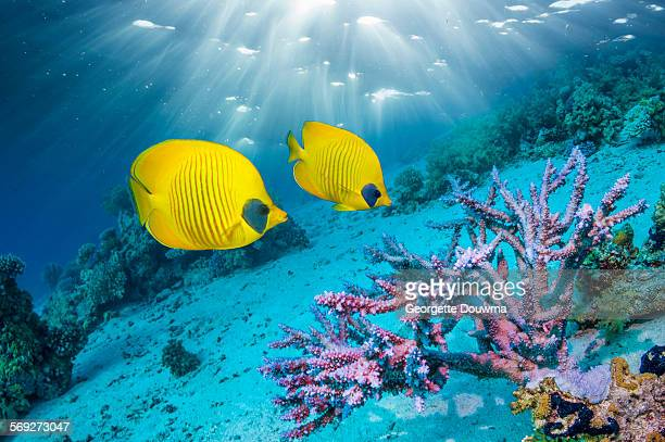 Golden butterflyfish with coral