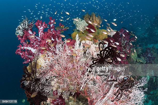 Golden Cardinalfish between colorful Corals Apogon aureus Raja Ampat West Papua Indonesia