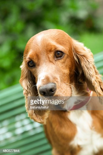 Golden Cocker Spaniel - Stock Image : Stock Photo
