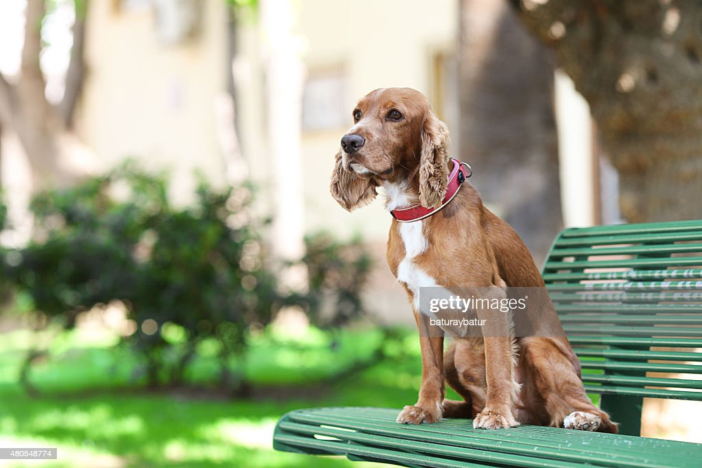 Golden Cocker Spaniel - Stock Image : Stock Photo