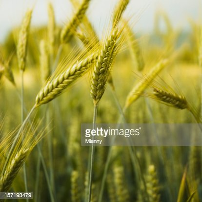 Goldene Farbige Gerste -