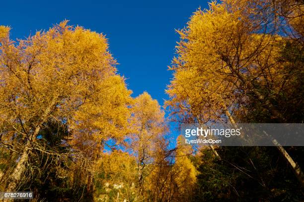Golden Coloured Pine Trees and Blue Sky at Indian Summer in the Mountains of Rofan on October 31 2015 in Achensee Tyrol Austria