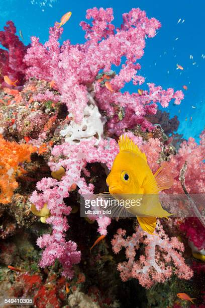 Golden Damsel in Coral Reef Amblyglyphidodon aureus Gau Lomaiviti Fiji