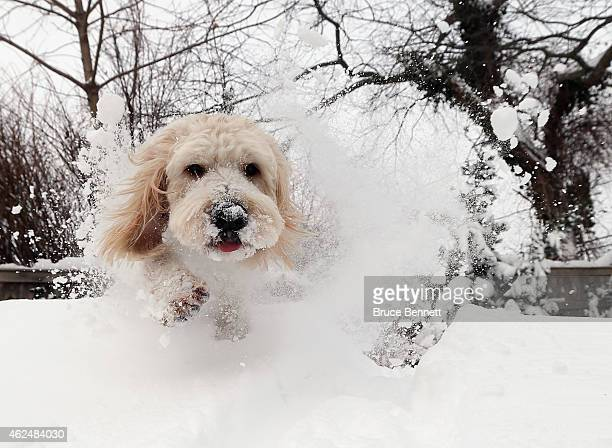 A golden doodle mix dog frolics in the accumulated snow on January 27 2015 in Old Bethpage New York The Long Island region received between twelve...