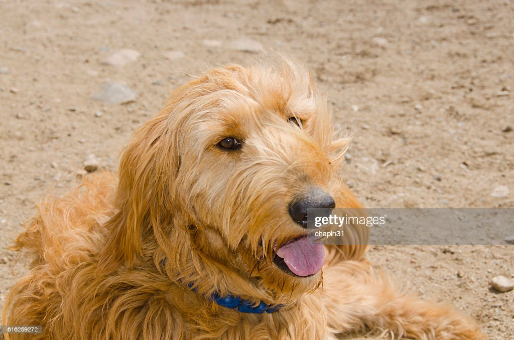 Golden Doodle Poses for her Portrait : Stock Photo
