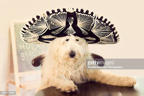Golden doodle puppy with sombrero hat on