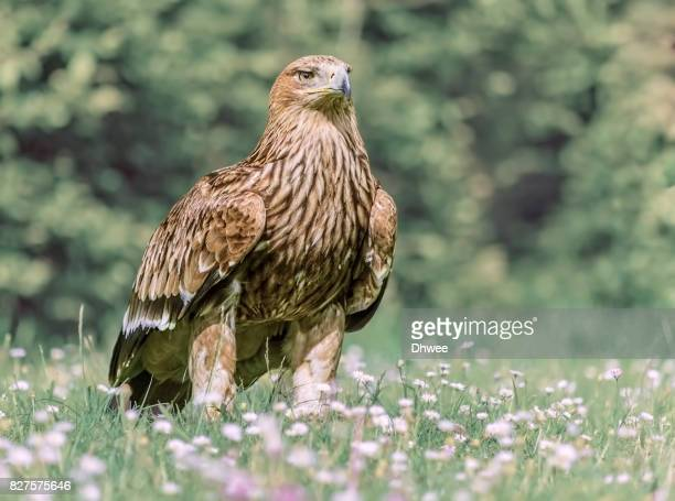 Golden Eagle Among Daisy Flowers And Grass