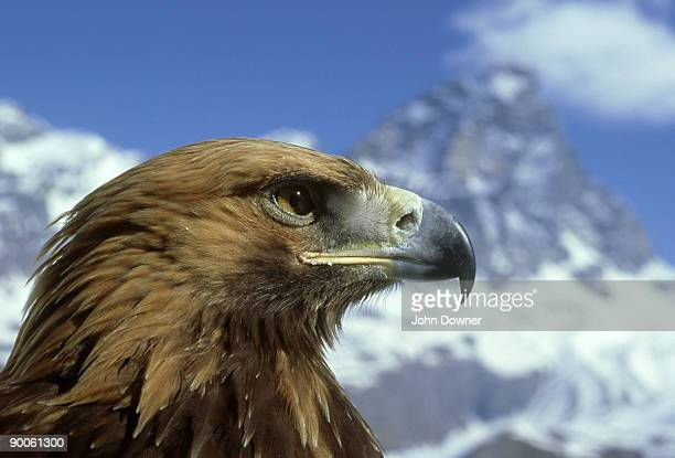 golden eagle: aquila chrysaetos  by matterhorn  switzerland