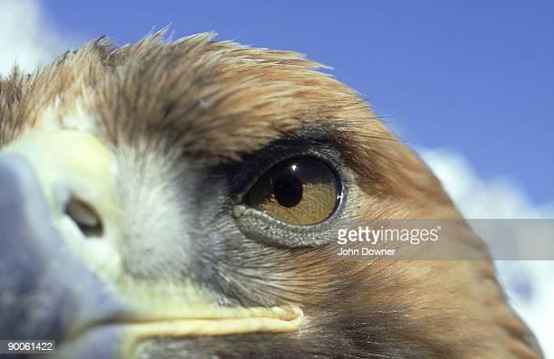 golden eagle: aquila chrysaetos  close-up of head  switzerla nd