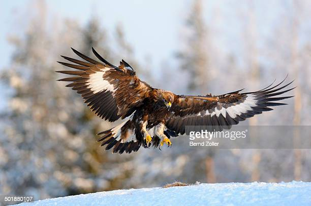 Golden Eagle -Aquila chrysaetos- in flight, landing at a bait place, Kainuu, Utajarvi, Nordfinnland, Finland