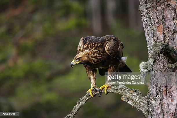 Golden eagle. Aquila chysaetos
