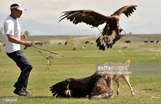 A golden eagle attacks a chained wolf during a traditional hunting festival 'Salburun' in the village of Tyup some 370km from Bishkek near IssykKul...
