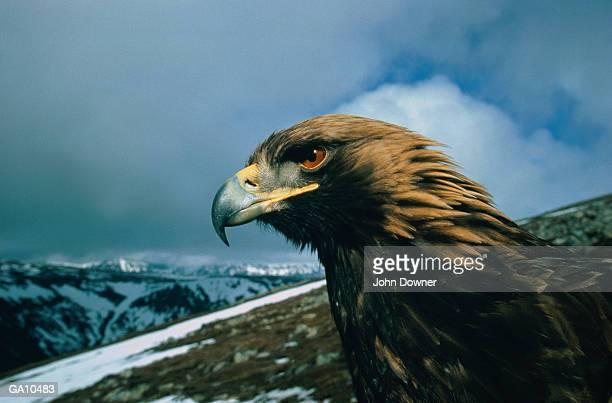 Golden Eagle (Aquila chrysaetos), close-up