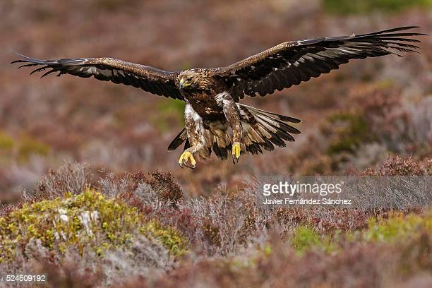 A golden eagle flying over a moorland in Scotland. Aquila chysaetos