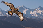 Golden eagle flying with Tien Shan mountains in the background near Bishkek, Kyrgyzstan.
