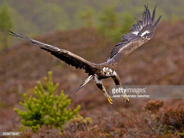 Golden eagle in flight with rain