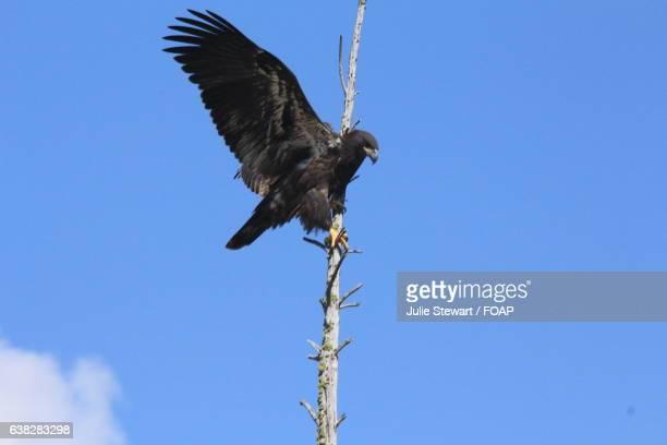 Golden eagle landing on a twig
