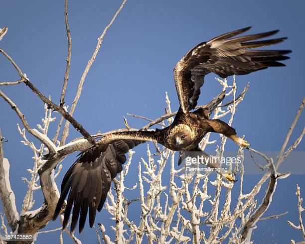 Golden Eagle (Aquila chrysaetos) lancement