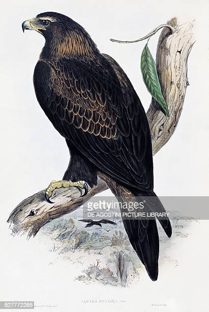 Golden Eagle lithograph from Birds of Australia and Great Britain by John Gould United Kingdom 19th century