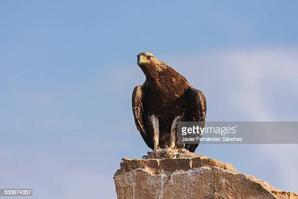 golden eagle on a ruined house