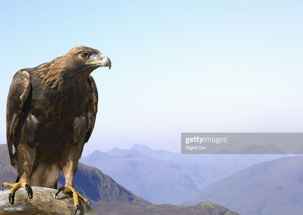 Golden Eagle Perched on a Rock, Against a Mountain Range