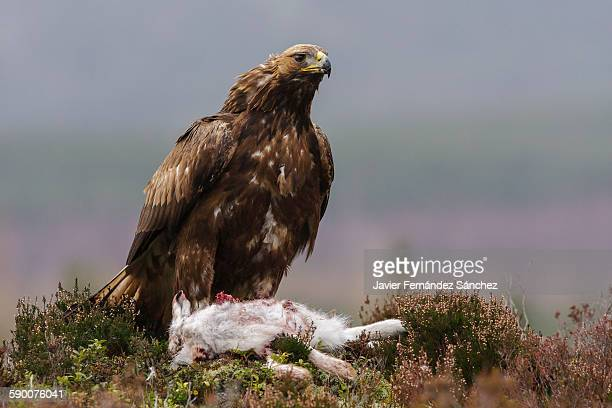Golden eagle with its prey, a mountain hare.