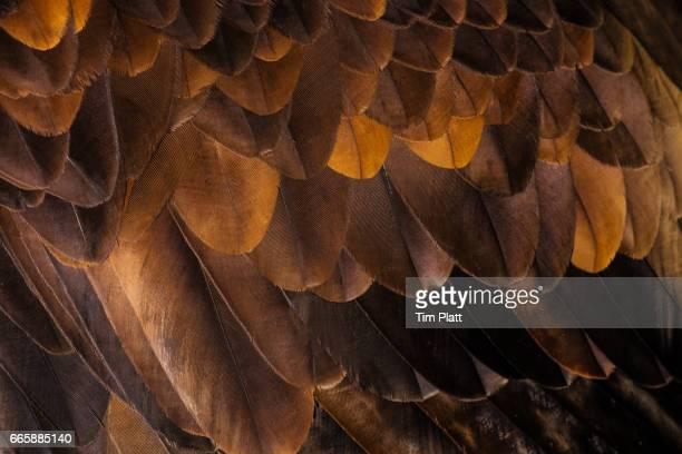 Golden Eagle's feathers