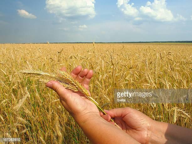 Golden Ears of Rye in Hand III
