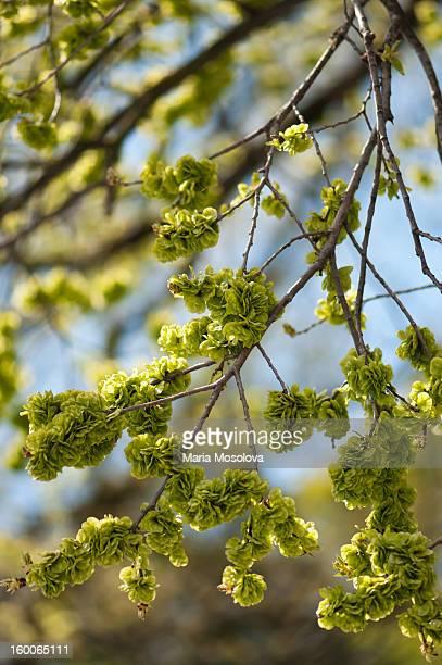 Golden Elm Tree in Bloom