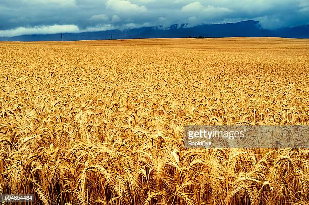 Golden field of ripe wheat. Beautiful nature background.