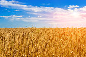 Golden wheat field on the background of hot summer sun and blue sky with white clouds.