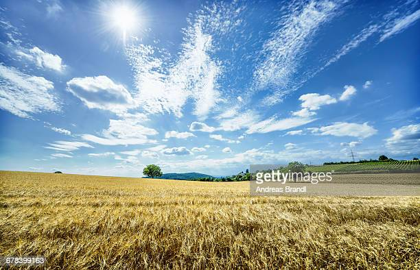 Golden fields in Baden-Wurttemberg, Germany, Europe