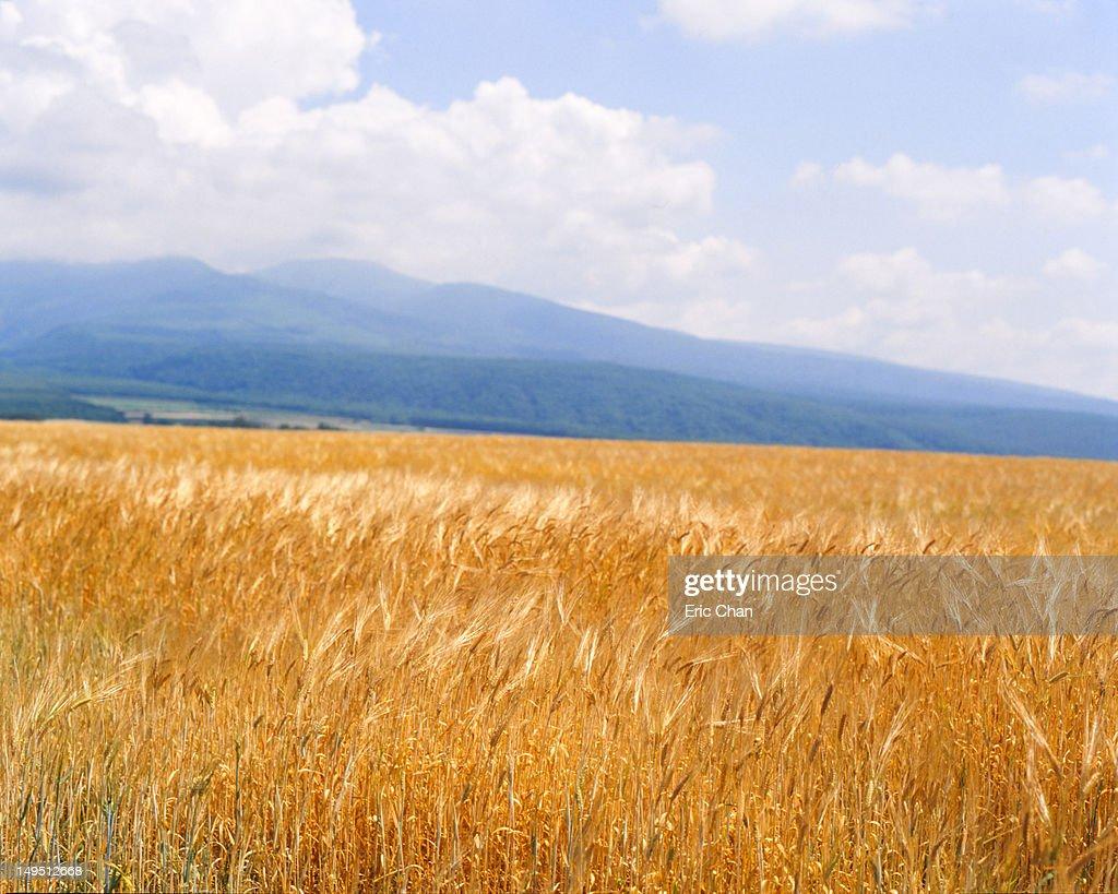 Golden fields : Stock Photo