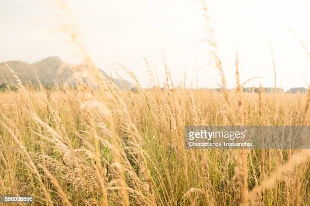 Golden Grass fields