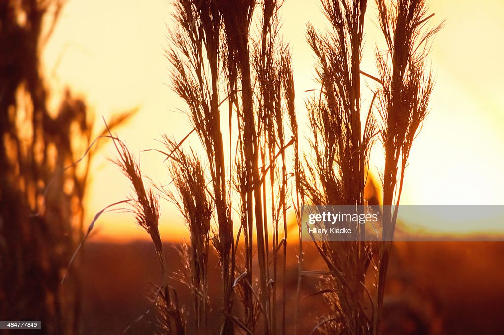 Golden grass in field