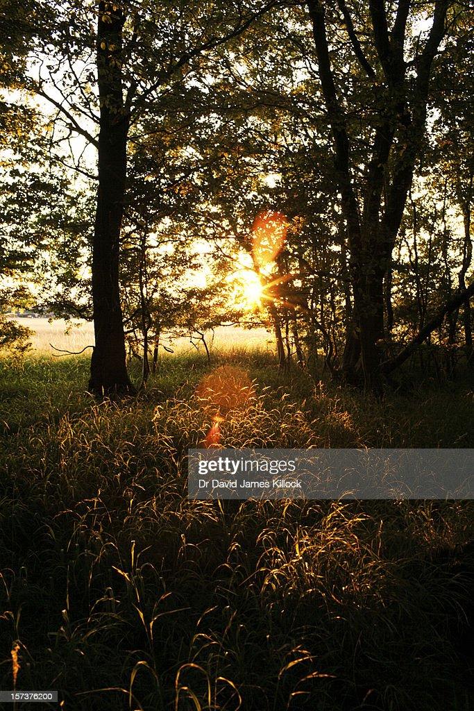 Golden Grasses : Stock Photo