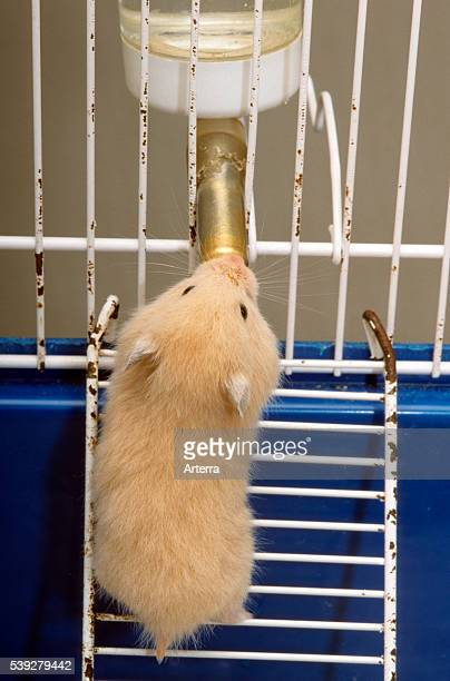 Golden hamster drinking water from bottle in cage