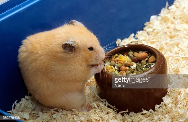 Golden hamster eating mixture of seeds and cereals in cage