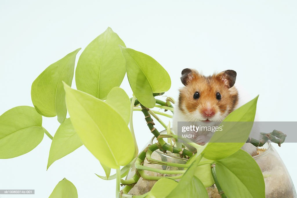 Golden hamster (Mesocricetus auratus) in pot with plant, studio shot : Stock Photo