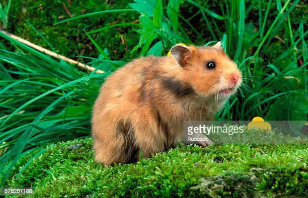 Golden hamster Mesocricetus auratus among plants Native to West Asia